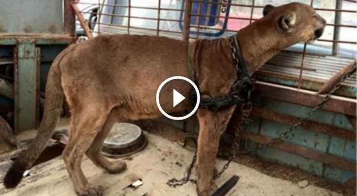 Mufasa, il leone che era stato rinchiuso in un camion per 20 anni. Guardate i momenti toccanti della sua liberazione!!