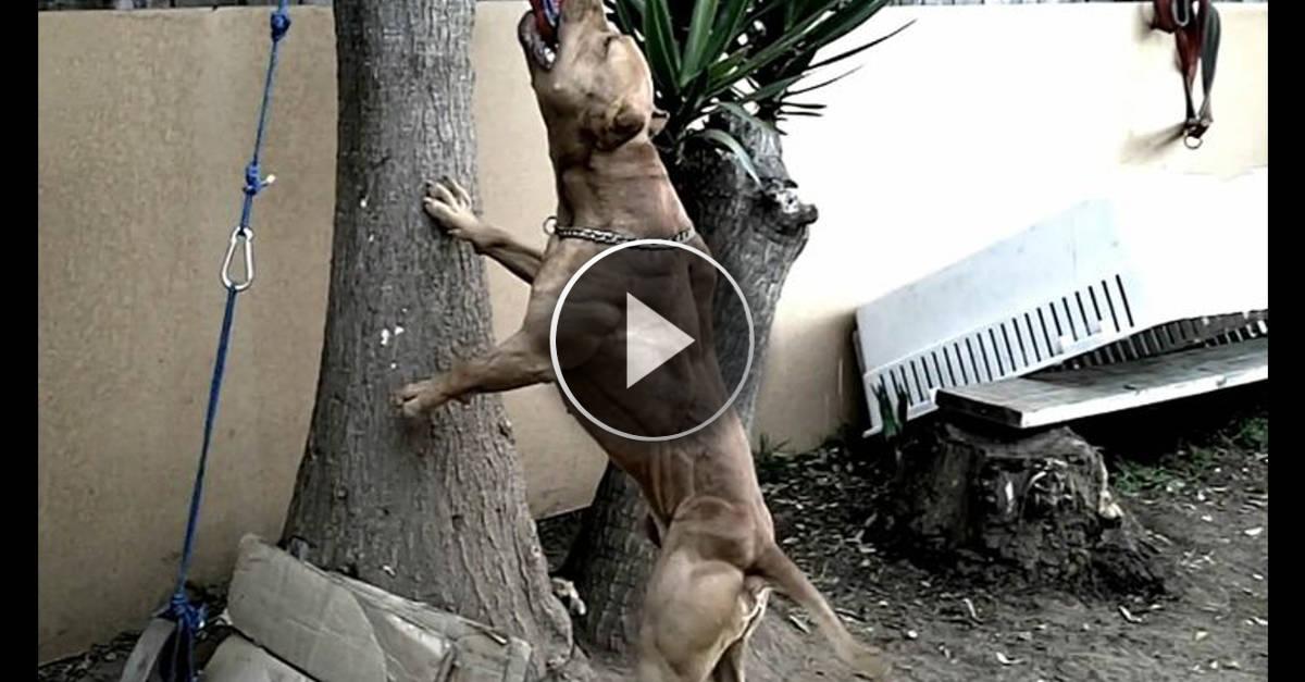 La potenza del Pitbull. Un video mai visto prima d'ora…. Impressionante