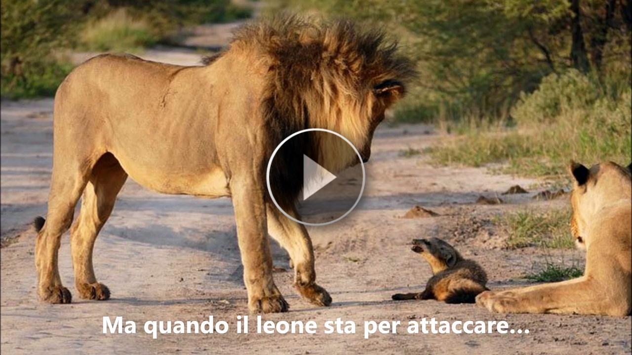 Una leonessa trova un cucciolo di volpe impaurito e lo difende dall'attacco del leone