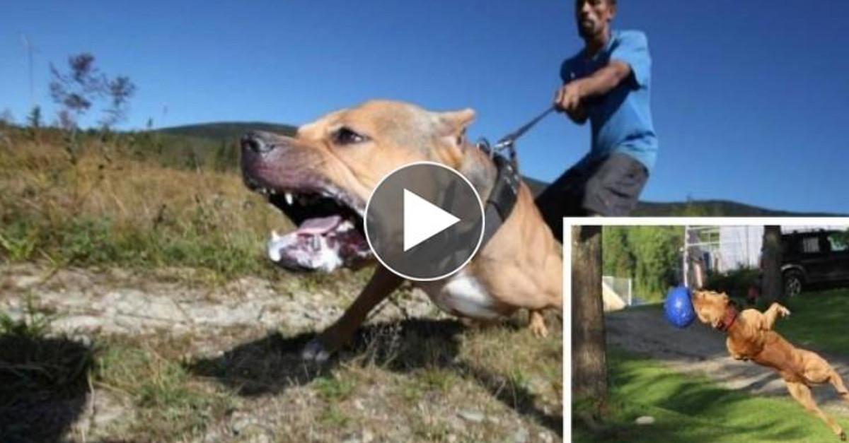 Ace, il cane più forte ed agile del mondo. Guardate il suo allenamento pazzesco!!