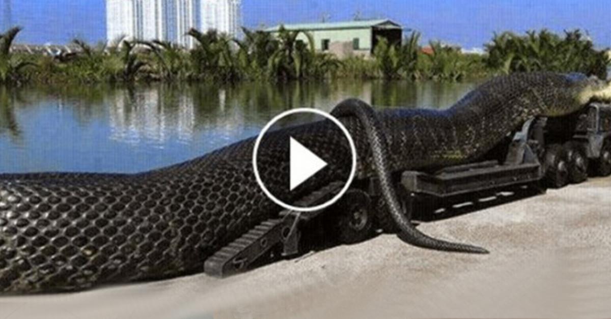Una gigantesca Anaconda è stata trovata morta. Ciò che è aveva nello stomaco vi lascerà sotto SHOCK!