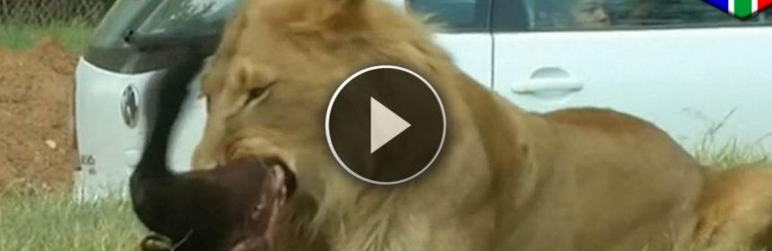 Leone archivi supervideone - Gli animali della foresta pluviale di daintree ...