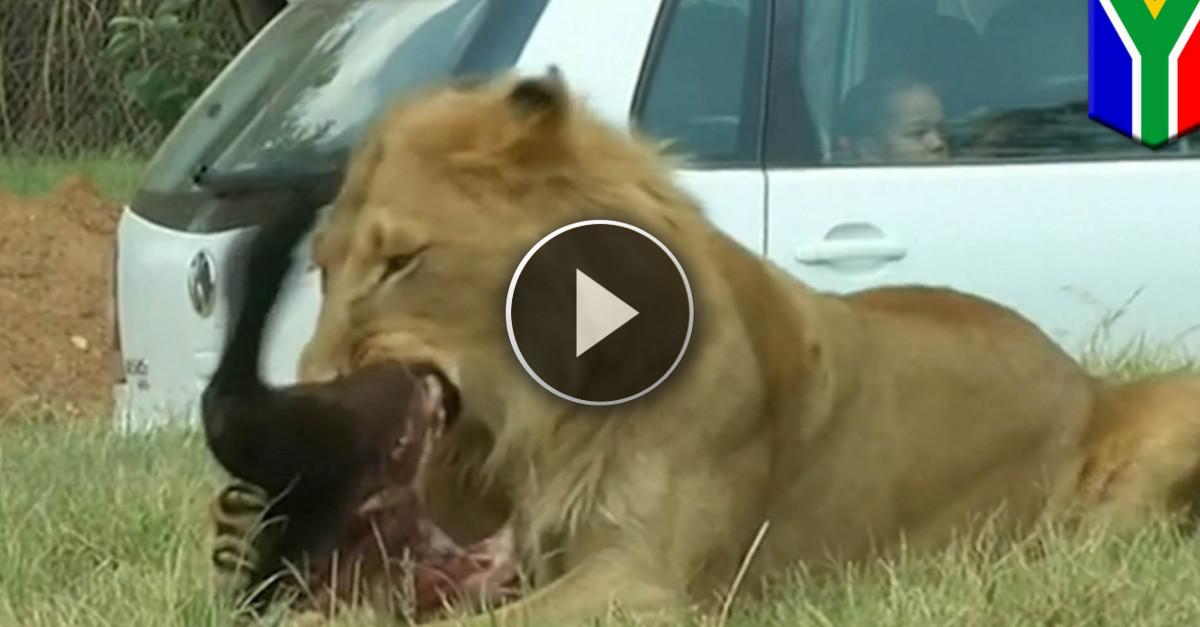 ATTACCO DI UN LEONE: Una Turista Americana Sbranata Durante Un Safari
