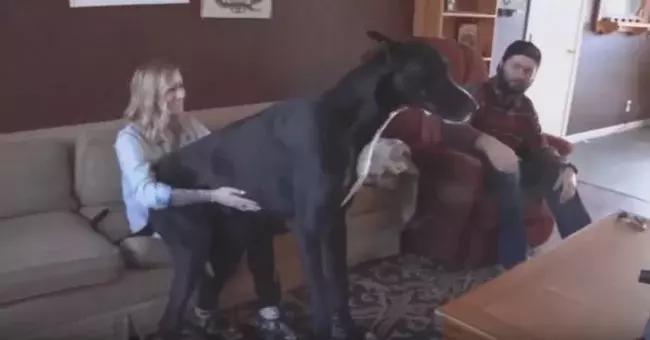 Il cane è talmente grande che i suoi padroni pensavano fosse per metà cavallo!!!