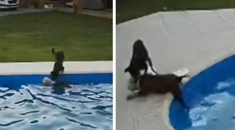 Cane cieco rischia di affogare in una piscina, lo salva un altro cane. Il video lascia senza parole